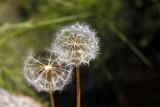 Two dandelions - 65163365