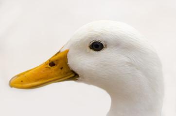 Cabeza de pato blanco