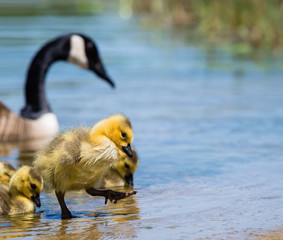 Cute Canada goose gosling stepping out of lake water