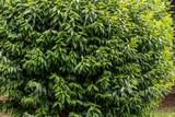 Cespuglio verde
