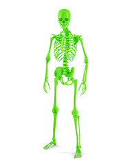 Male Human skeleton. Isolated. Clipping path