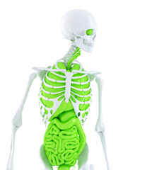 Human skeleton with internal organs. Isolated. Clipping path