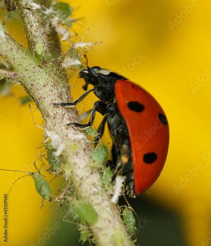 Ladybug and aphids - 65169140