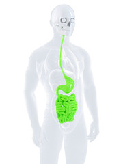 Male digestive system. Isolated, contains clipping path