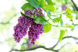 Purple lilac flowers