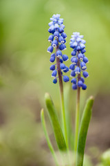 Muscari Armeniacum Flower