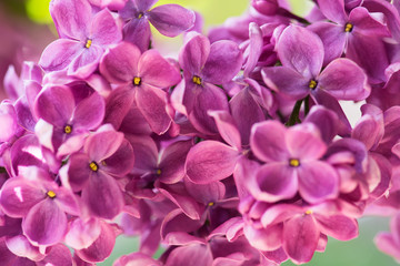 Purple lilac close-up