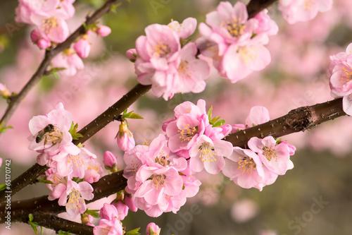 Fotobehang Kersen Pink cherry blossom