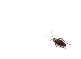 cockroach on white with copy space