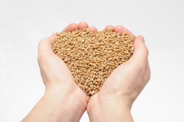 Natural wheat grains in hand