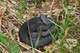 Venomous snake black forest viper . poster