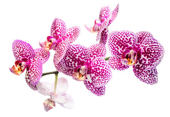 Blooming motley lilac orchid, phalaenosis isolated on white back