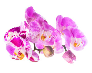 Blooming purple and white stripped flower orchid, phalaenosis is