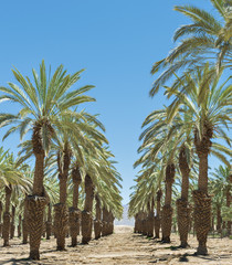 Dates palm plantation