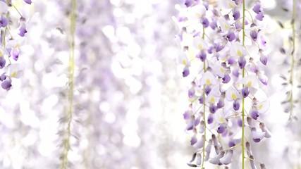 揺らめく藤の花
