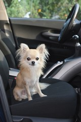 Longhair chihuahua sitting in fron seat of a car waiting