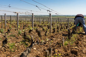travaux de repiquage de vignes