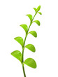 Young green multi leaf sprout