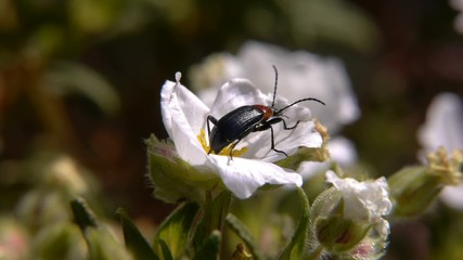 beetle on flower jara