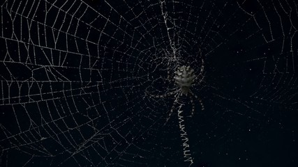 timelapse Argiope spider in its web with moving stars