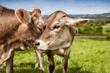 Kühe zeigen zuneigung