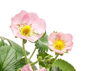 Pink flowers on strawberry on white background