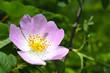 большой цветок шиповника в лесу
