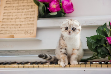 Scottish-fold cat sits on the piano