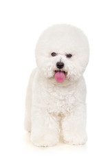 Bichon dog standing on a white background