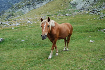 Chestnut horse in The Rila Mountains