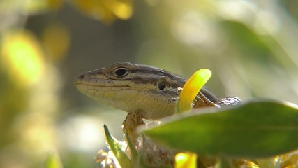 tailed lizard, sunbathing in the bushes