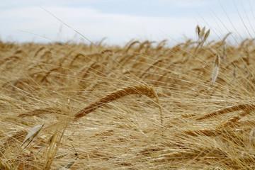 Cereales en el campo