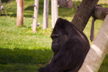 gorilla in Lisbon Zoo