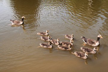 Greylag Geese parents with family