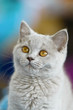 Young British Shorthair cat