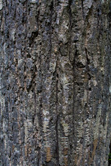 Tree surface,bark texture