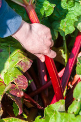 Picking rhubarb