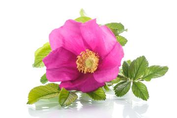 briar flower