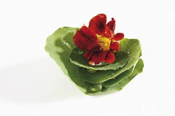 Kapuzinerkresse (Tropaeolum ) Blumen und Blätter