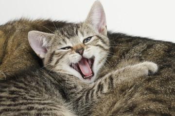 Hauskatze,Kätzchen Gähnen, Porträt,Nahaufnahme