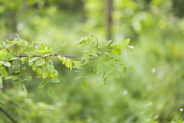 gałązka akacji na zielonym tle