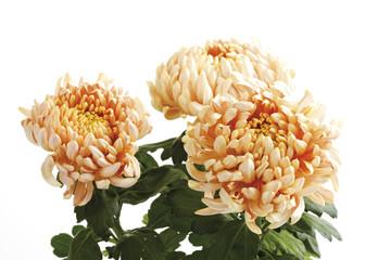 Chrysanthemen (Chrysanthemum indicum)