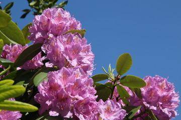 Rhododendron unter blauem Himmel