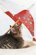 Hauskatze,Kätzchen unter Dach liegend