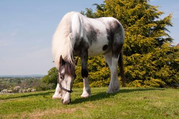 Pinto horse grazing