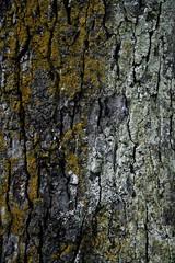 Rosskastanie (Aesculus hippoc ‡ stanum ) , close up