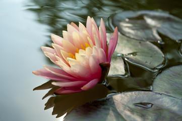 fiore ninfea 4968