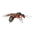 Red winged ant isolated on white background, with clipping path