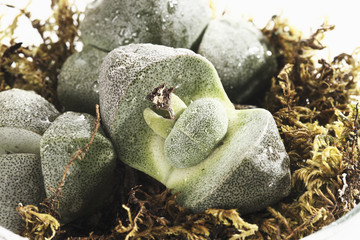 Steinwerke ( Lithops ),close-up