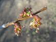 Spring. Elm twig with melting catkins